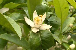 fleur d'oranger pour bébé